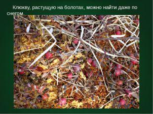 Клюкву, растущую на болотах, можно найти даже по снегом.