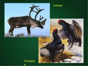 Олени Тетерева