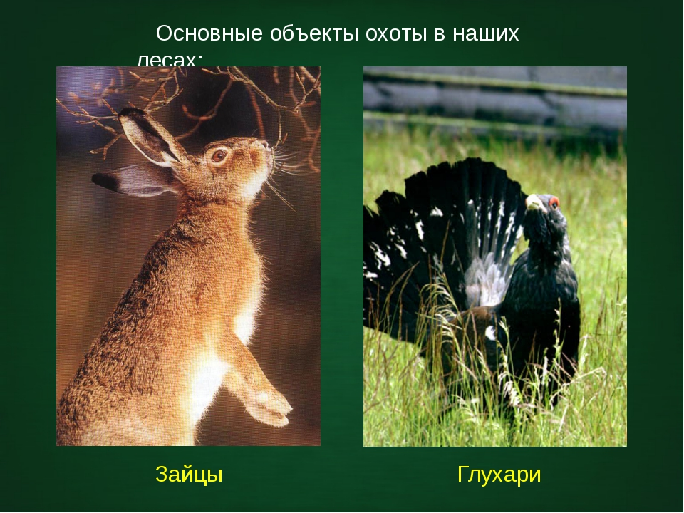 Основные объекты охоты в наших лесах: Зайцы Глухари