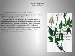 Княжик сибирский Atragene sibirica  Деревянистая лиана из семейства лютиков