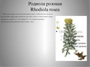 Родиола розовая Rhodiola rosea Многолетнее растение с толстым коротким прямым