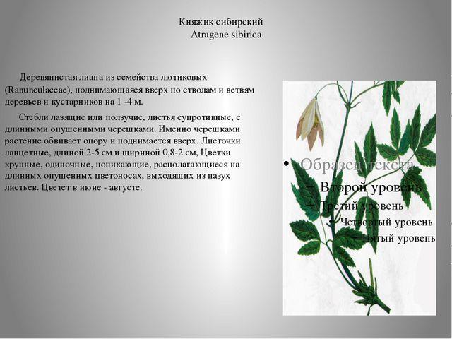 Княжик сибирский Atragene sibirica  Деревянистая лиана из семейства лютиков...