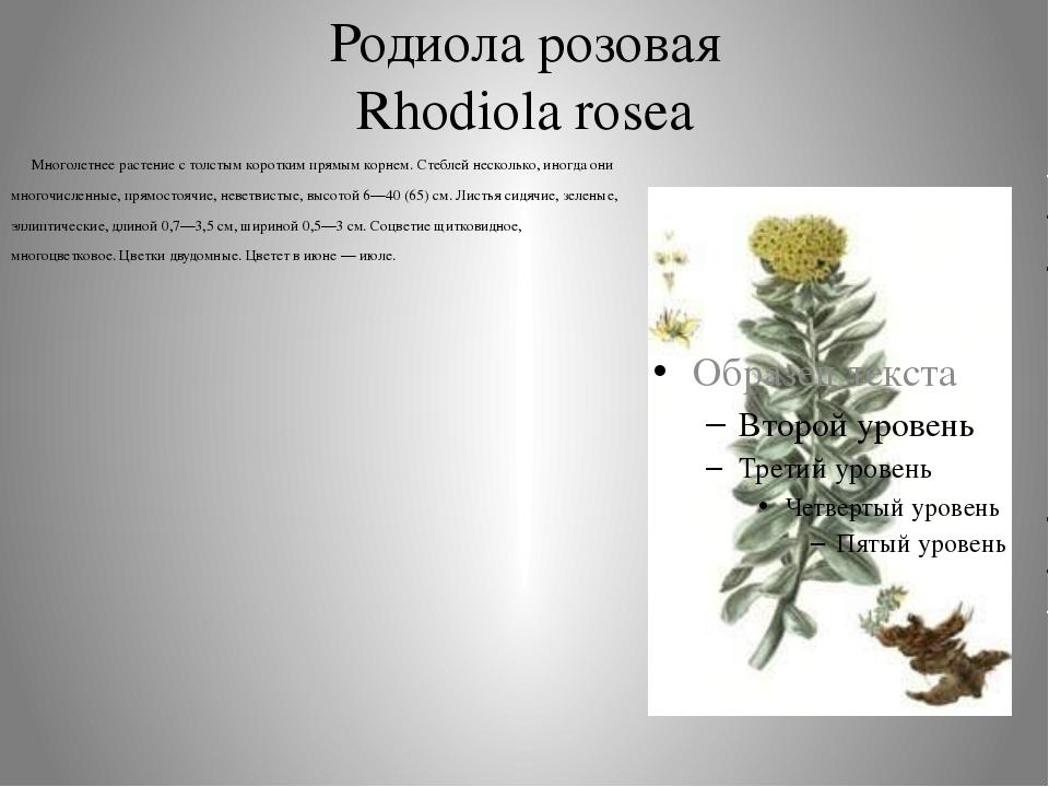 Родиола розовая Rhodiola rosea Многолетнее растение с толстым коротким прямым...