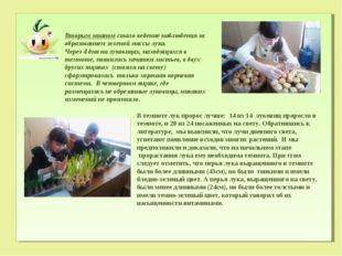 Вторым этапом стало ведение наблюдения за образованием зеленой массы лука. Ч