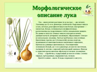 Морфологическое описание лука Лук - многолетнее растение (в культуре — двуле