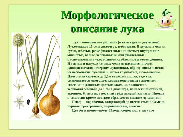 Морфологическое описание лука Лук - многолетнее растение (в культуре — двуле...