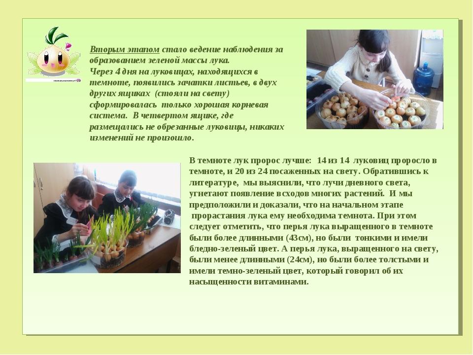 Вторым этапом стало ведение наблюдения за образованием зеленой массы лука. Ч...