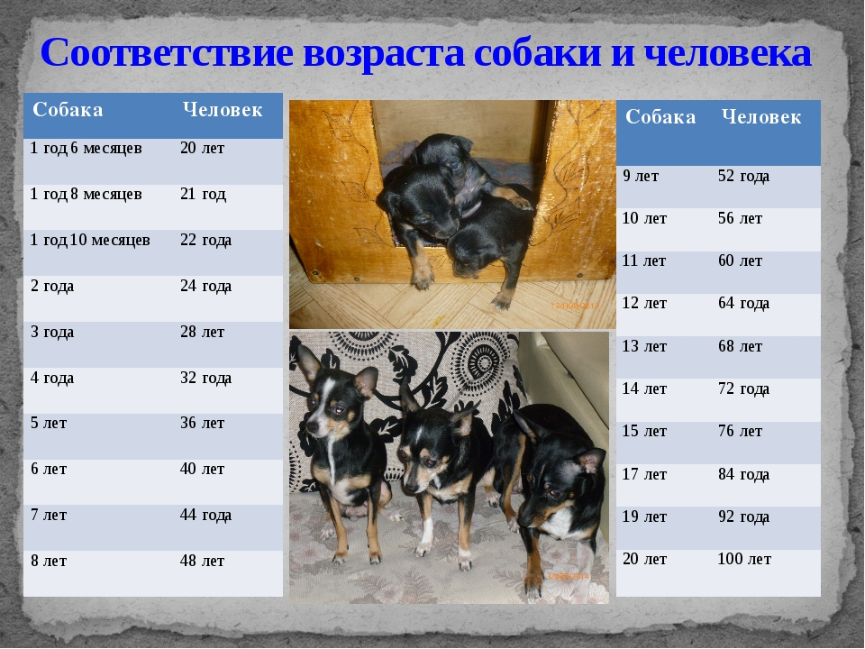 Соответствие возраста собаки и человека Собака Человек 1 год 6 месяцев 20 лет...