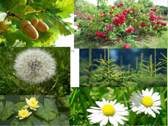 Растения Дуб и орешник Клевер и одуванчик Аир Ряска и кувшинка белая Каштан Р...