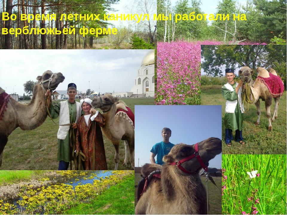 Во время летних каникул мы работали на верблюжьей ферме