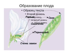 Образование плода В результате оплодотворенная яйцеклетка – зигота (2n) – дае