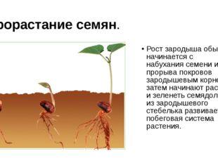 Прорастание семян. Рост зародыша обычно начинается с набухания семени и проры