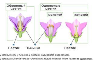 Цветки, у которых есть и тычинки, и пестики, называются обоеполыми. Цветки, у