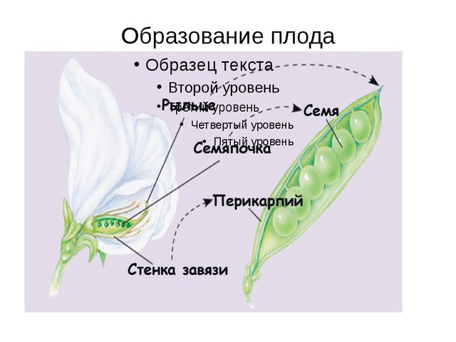 Образование плода В результате оплодотворенная яйцеклетка – зигота (2n) – дае...