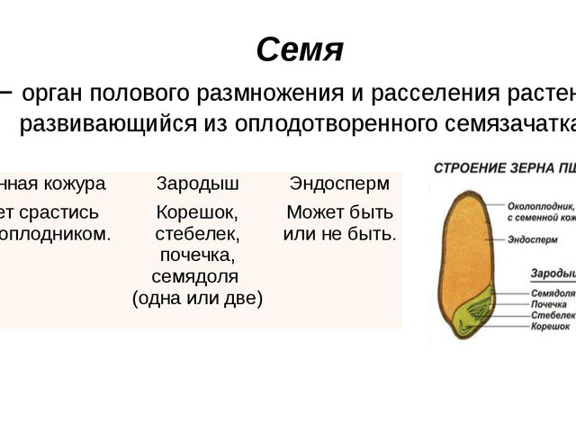 Семя – орган полового размножения и расселения растений, развивающийся из опл...