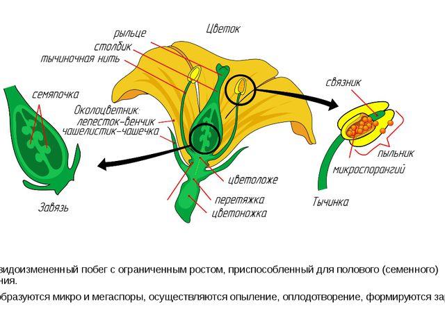 Цветок -видоизмененный побег с ограниченным ростом, приспособленный для поло...