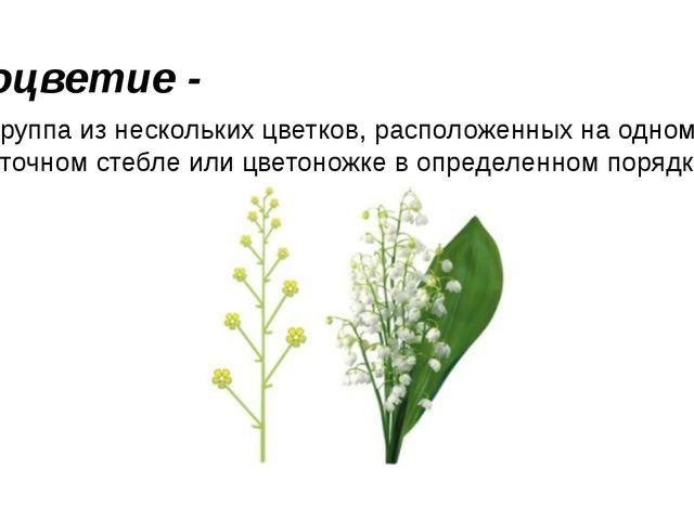 Соцветие - — группа из нескольких цветков, расположенных на одном цветочном с...
