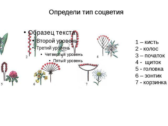 Определи тип соцветия 1 – кисть 2 - колос 3 – початок 4 - щиток 5 - головка 6...
