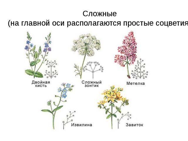 Сложные (на главной оси располагаются простые соцветия)