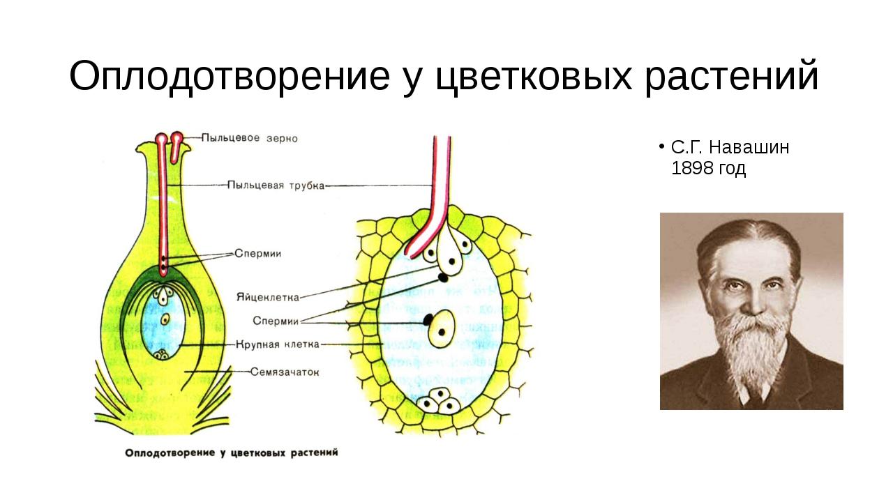 Оплодотворение у цветковых растений С.Г. Навашин 1898 год При оплодотворении...