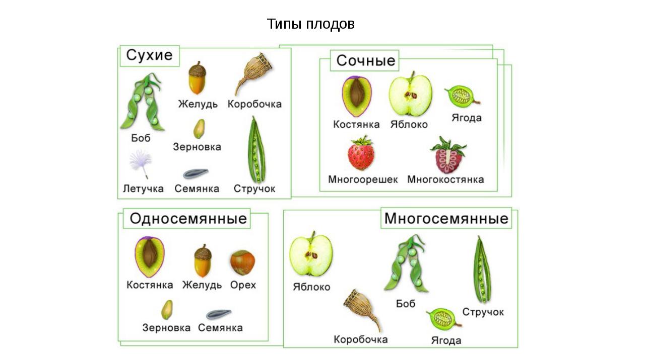 Типы плодов Плод представляет собой видоизмененный цветок, преобразование кот...