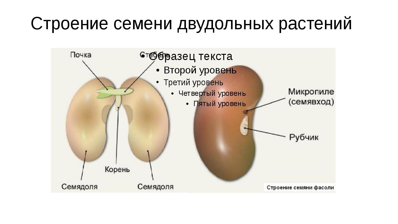 Строение семени двудольных растений