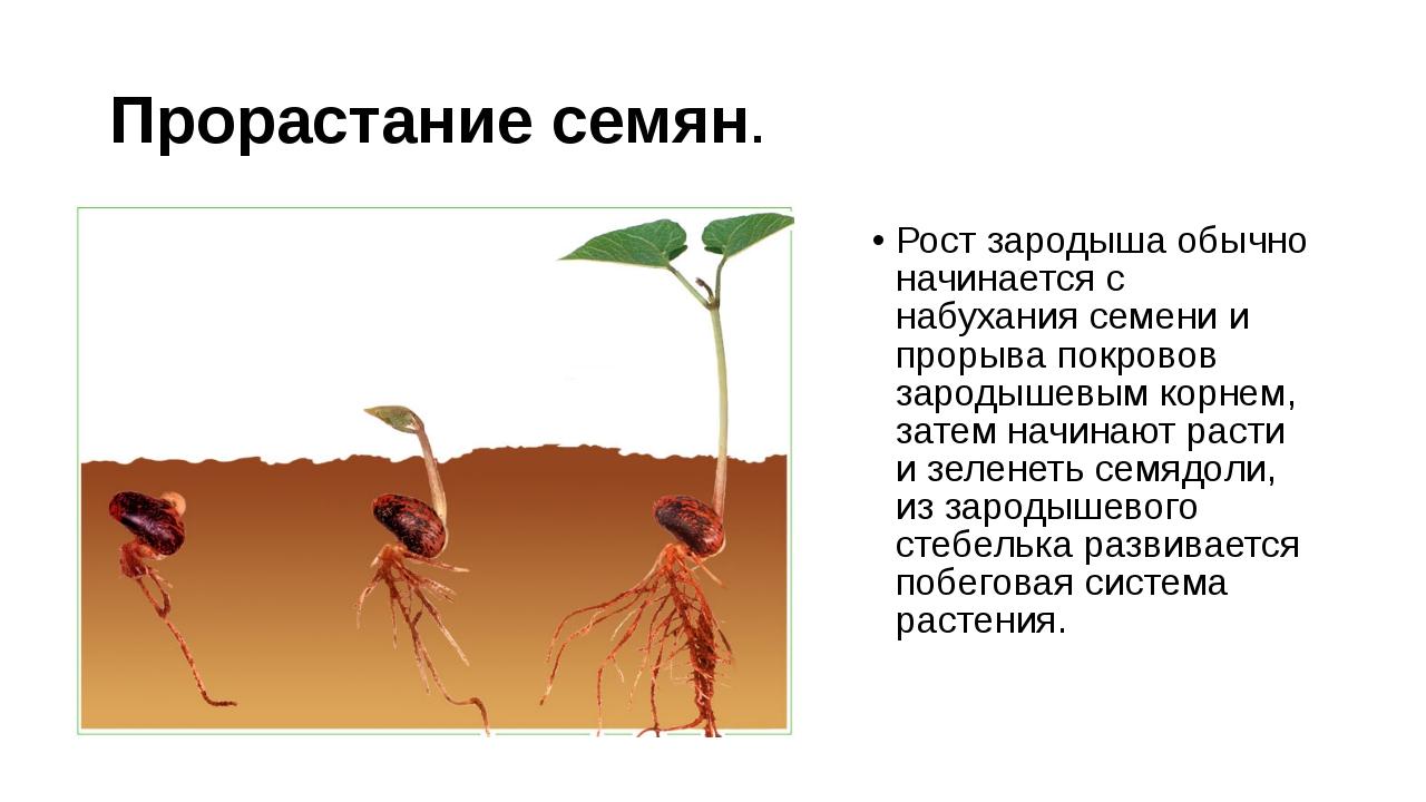 Прорастание семян. Рост зародыша обычно начинается с набухания семени и проры...