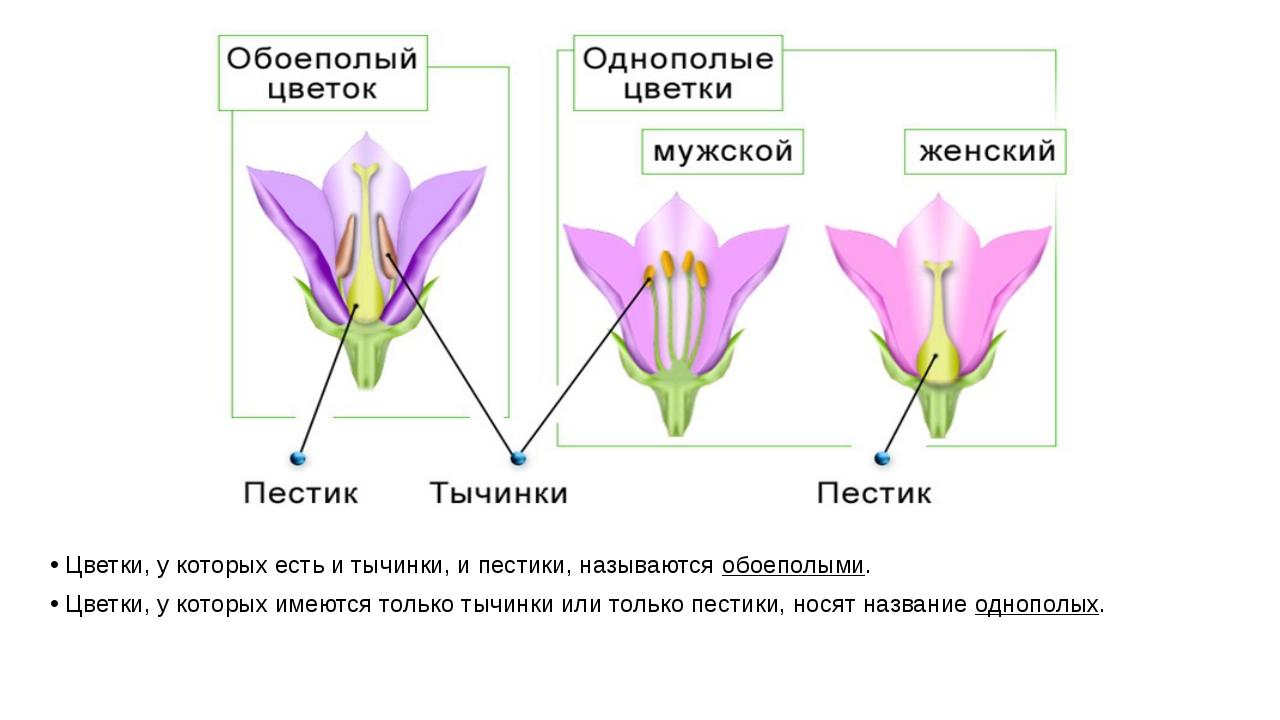Цветки, у которых есть и тычинки, и пестики, называются обоеполыми. Цветки, у...