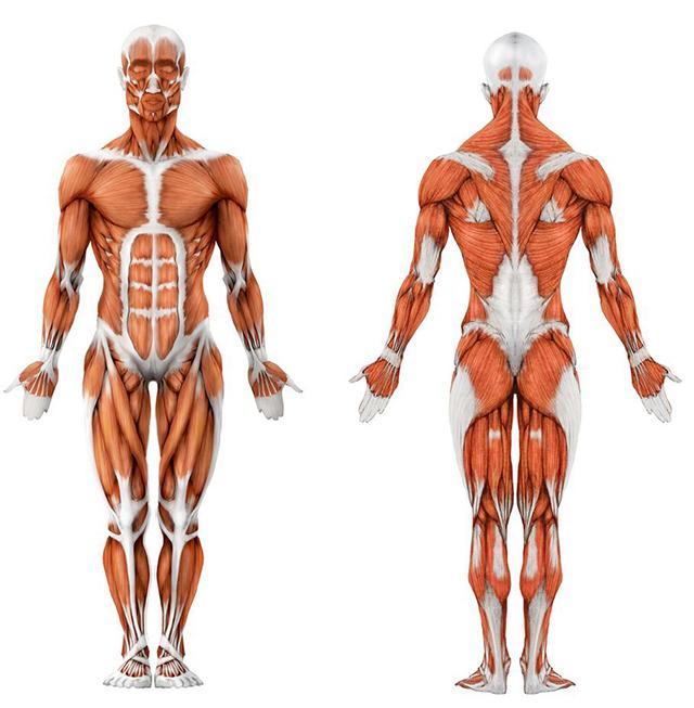Мышцы будущего человека