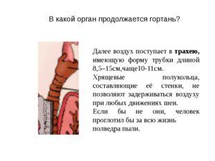 Далее воздух поступает в трахею, имеющую форму трубки длиной 8,5–15см,чаще10-