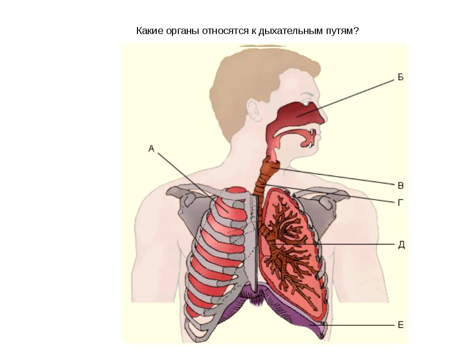 """Какие органы относятся к дыхательным путям? МОУ """"Ленская СОШ"""""""