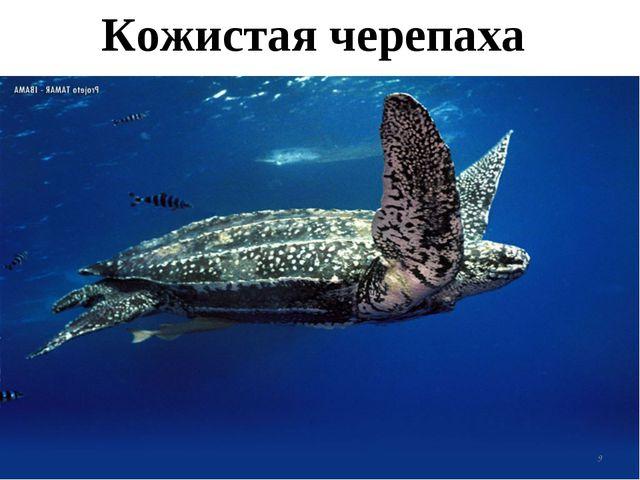 Кожистая черепаха *