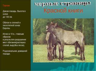 Тарпан Дикая лошадь. Высота в холке до 130 см. Обитал в степной и лесостепной