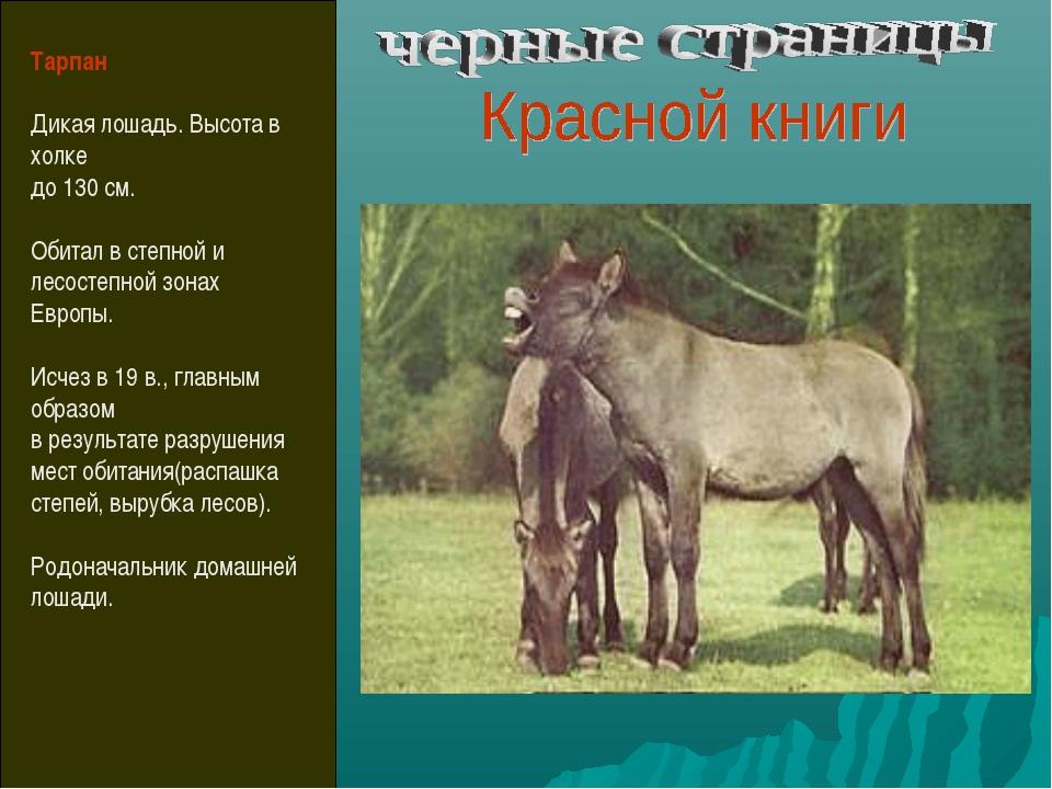 Тарпан Дикая лошадь. Высота в холке до 130 см. Обитал в степной и лесостепной...