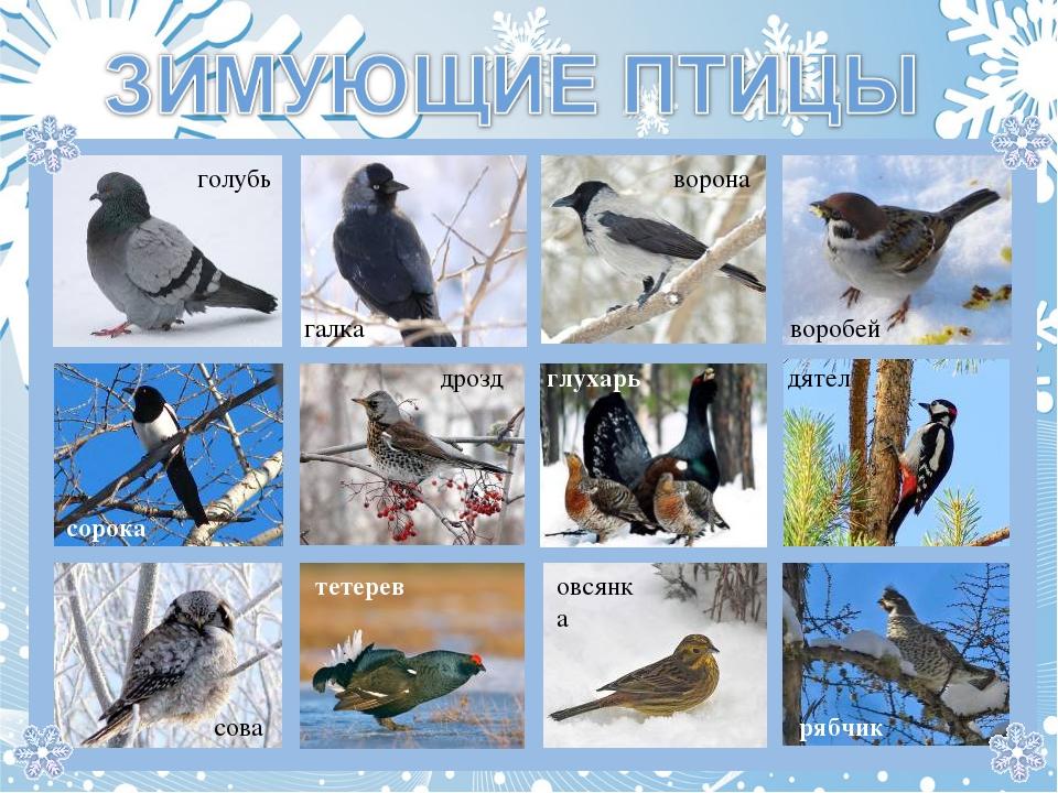 галка голубь ворона воробей сорока дрозд глухарь дятел рябчик овсянка тетерев...