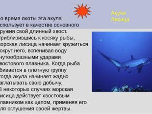 Акула Лисица Во время охоты эта акула использует в качестве основного оружия