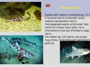 Леопардовая Вырастают акулы в среднем до 1,5 м. Строение пасти позволяет рыбе