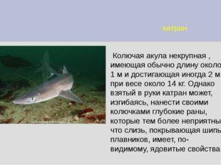 катран Колючая акула некрупная , имеющая обычно длину около 1 м и достигающая