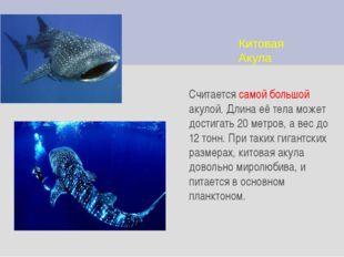 Китовая Акула Считается самой большой акулой. Длина её тела может достигать 2