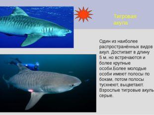 Тигровая акула Один из наиболее распространённых видов акул. Достигает в длин