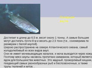 Полярная акула Достигает в длину до 6,5 м, весит около 1 тонны. А самые больш
