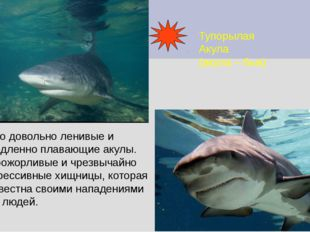 Тупорылая Акула (акула – бык) Это довольно ленивые и медленно плавающие акулы