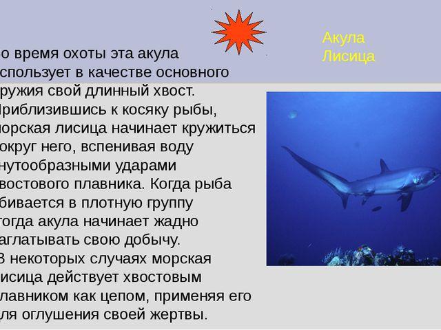Акула Лисица Во время охоты эта акула использует в качестве основного оружия...