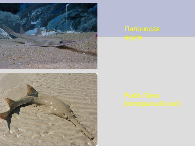 Пилоносая акула Рыба Пила (пилорылый скат)