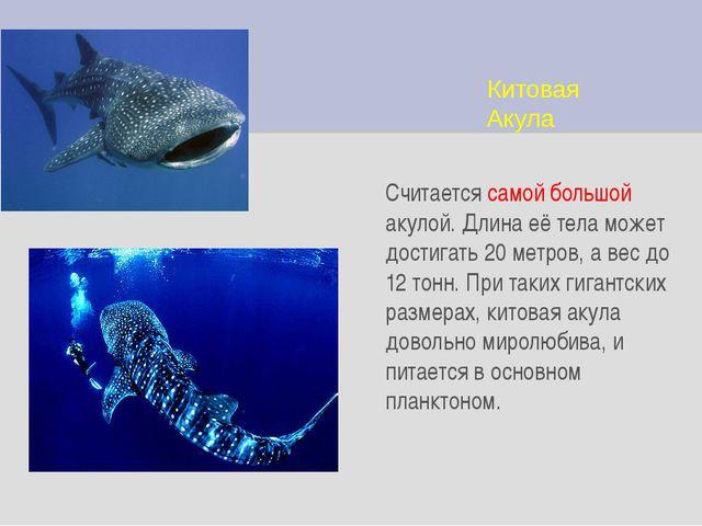 Китовая Акула Считается самой большой акулой. Длина её тела может достигать 2...