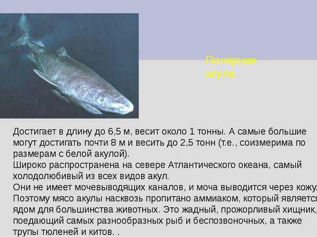 Полярная акула Достигает в длину до 6,5 м, весит около 1 тонны. А самые больш...
