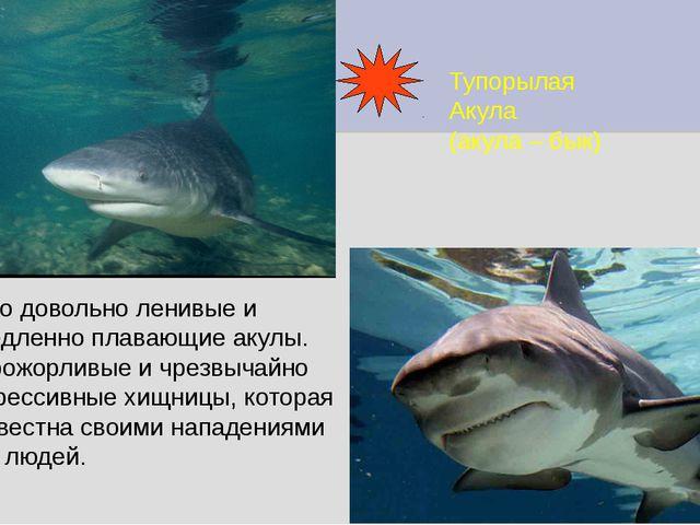 Тупорылая Акула (акула – бык) Это довольно ленивые и медленно плавающие акулы...