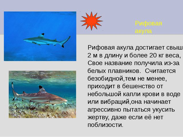 Рифовая акула Рифовая акула достигает свыше 2 м в длину и более 20 кг веса, С...