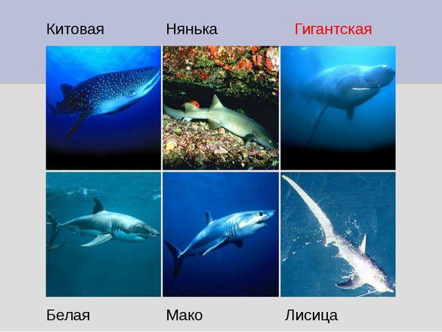 Китовая Нянька Гигантская Белая Мако Лисица