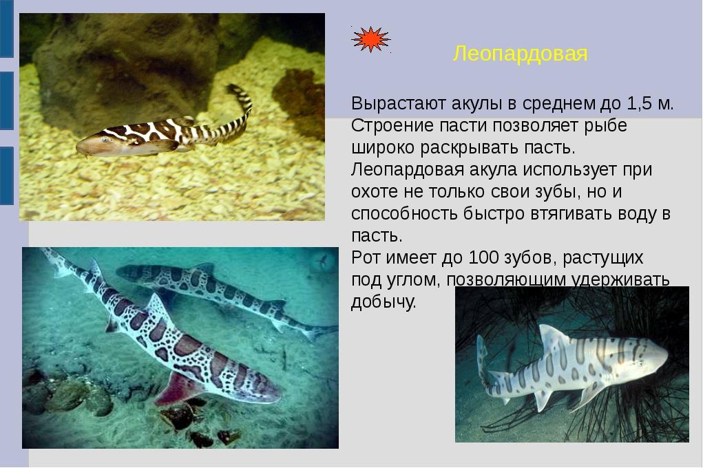 Леопардовая Вырастают акулы в среднем до 1,5 м. Строение пасти позволяет рыбе...